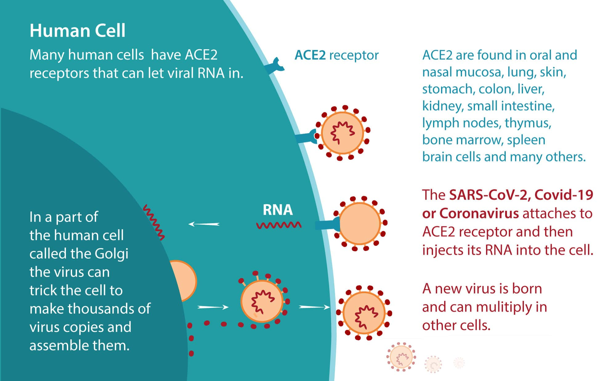 coronavirus-replication
